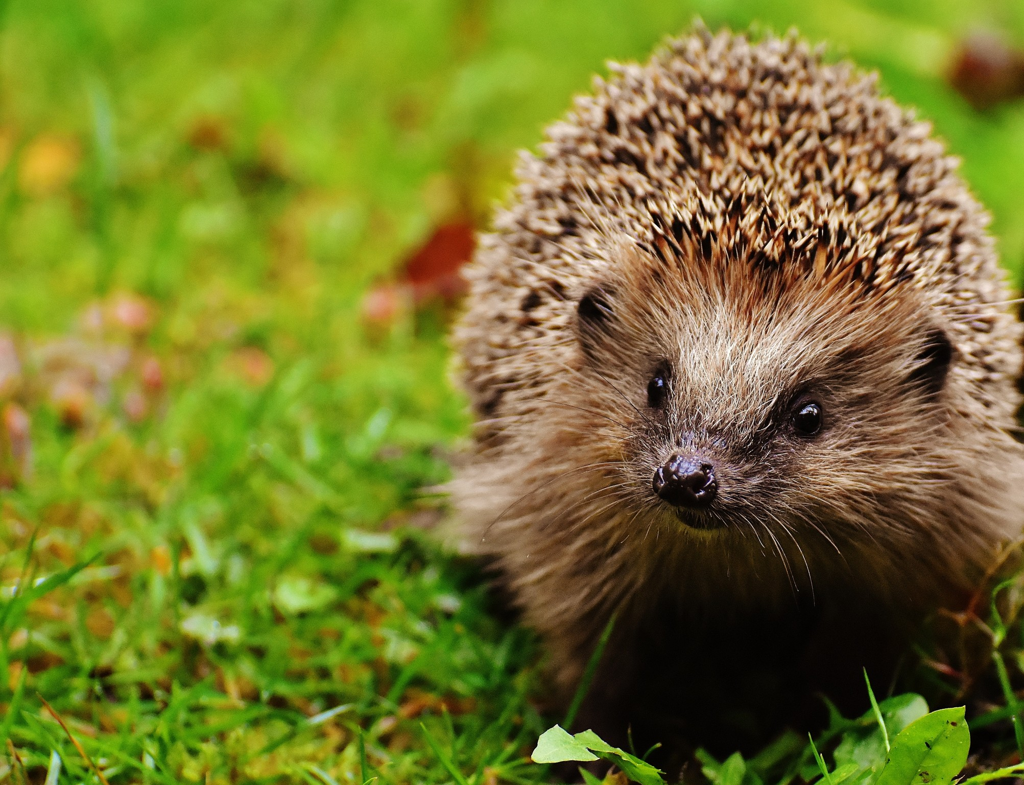 Hedgehog - (c) Publicdomainphotos | Dreamstime.com